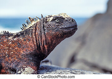 Marine iguana, Galapagos Islands, Ecuador - Marine iguana...