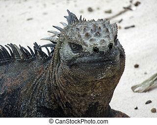 Marine iguana on Galapagos island