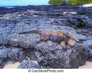 Marine iguana on santiago island in galapagos national park