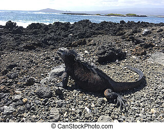 marine iguana relax at the volcanic landscape at the beach