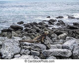 marine iguanas on a rock