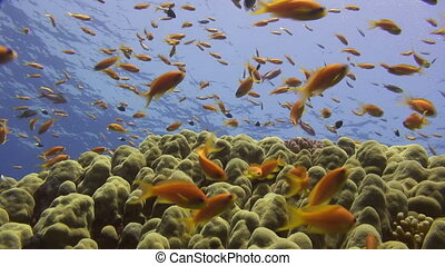 A rich marine life in shallow water close to several corals.