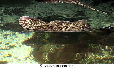 Marine life - Stingray