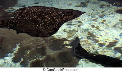 Marine life - Stingrays are a group of rays, which are cartilaginous fishes related to sharks - Video high definition - Real time
