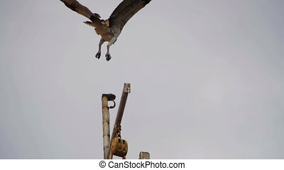 Marine Osprey Bird Landing on a Ship Mast. Slow Motion