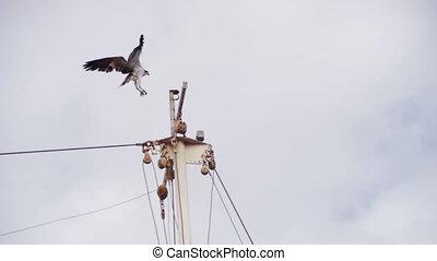 Marine Osprey Bird Landing on a Ship Mast. Red Sea Bird in Egypt. Slow motion in 96 fps.