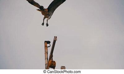 Marine Osprey Bird Landing on a Ship Mast. Slow Motion -...