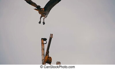 Marine Osprey Bird Landing on a Ship Mast. Slow Motion -...