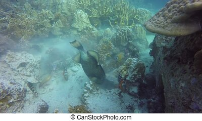 Marine scuba diving, Underwater colorful tropical coral reef seascape. Aggressive dangerous giant titan trigger fish deep in the ocean. Hard corals aquatic ecosystem. Water extreme sport hobby.