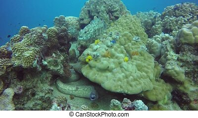 Marine scuba diving, Underwater colorful tropical coral reef seascape. Dangerous poisonous moray murena eel deep in the ocean. Corals aquatic ecosystem paradise background. Water extreme sport hobby