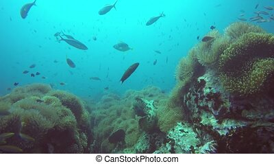 Marine scuba diving. Underwater tropical coral reef seascape. Huge giant grouper deep in ocean aquatic corals ecosystem. Large brindlebass or brown spotted cod or bumblebee. Water extreme sport hobby.