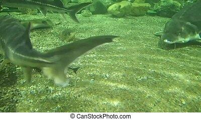 Marine sturgeons - Some marine sturgeons