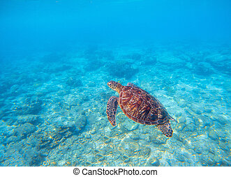 Marine tortoise in water. Olive green turtle underwater photo. Sea animal in coral reef.
