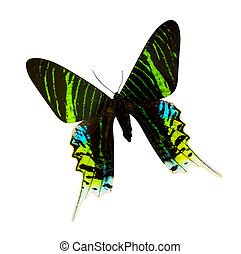 mariposa, aislado, fondo blanco, madagascar, urania