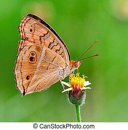 mariposa, alimentación, flor