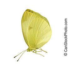 mariposa, amarillo