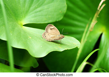 mariposa, appalachian, marrón