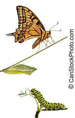 mariposa, arriba, oruga, swallowtail, crisálidas, cierre