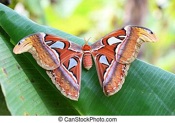 mariposa atlas, atlas)., (attacus
