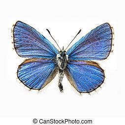 mariposa, azul, -, adonis