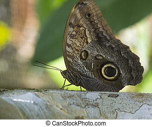 mariposa, búho, moth, grande, bosque