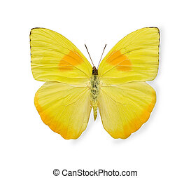mariposa, blanco, aislado, amarillo
