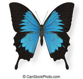 mariposa, blanco, papilio ulises, aislado