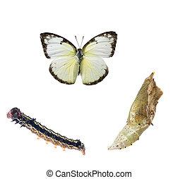 mariposa, ciclo vital