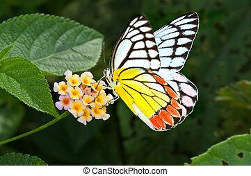 mariposa, común, jezebel, delias, eucharis, chupar, miel,...