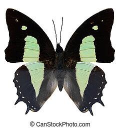 mariposa, común, nawab