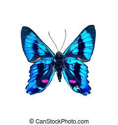 mariposa, definición, alto, fondo blanco