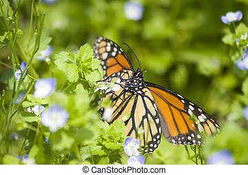mariposa del monarca