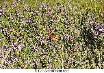 mariposa, en, flores, de, brezo