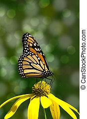 mariposa, flor, monarca, amarillo
