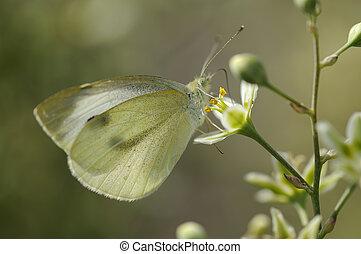 mariposa, grande, blanco