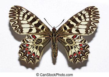 mariposa, guirnalda, meridional, aislado