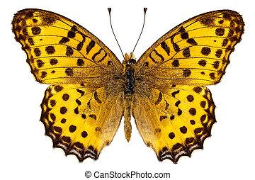 "mariposa, hyperbius, fritillary"", ""indian, argynnis, especie"