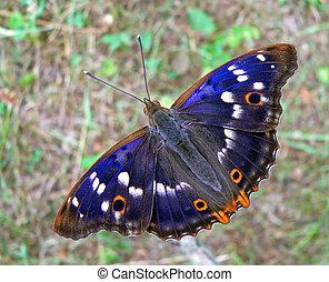 mariposa, iris, (apatura, púrpura, amur, 2, amurensis)