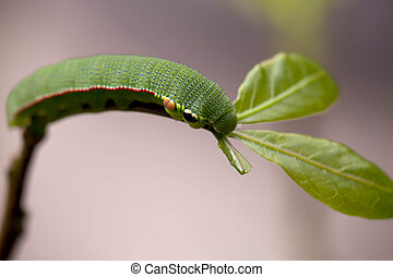mariposa, larvas