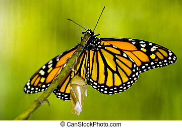 mariposa, monarca, nacimiento