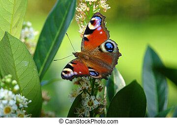 mariposa, pavo real, parte posterior verde