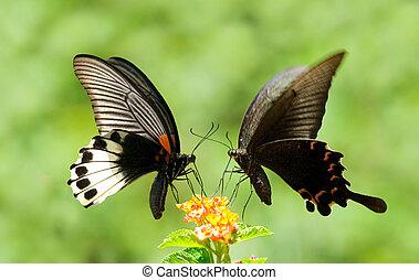 mariposa, swallowtail, flores, acción