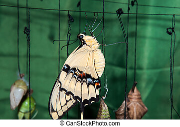 mariposa, velero, crisálida, transformación