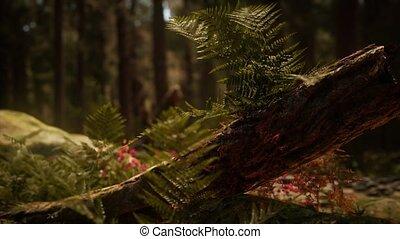 mariposa, zonlicht, sequoias, morgen, vroeg, bosje