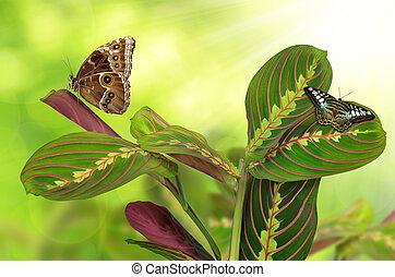 mariposas, tricolor, maranta