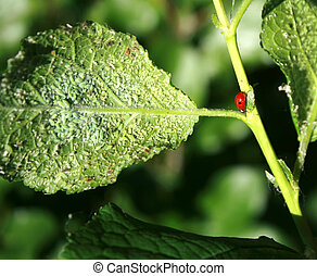 mariquita, afectado, pestes, cereza, hojas, aphids., áfido, insecto, comida, plant.