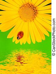 mariquita, en, amarillo, flower., reflejado adentro, agua
