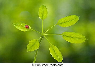 mariquita, en, hoja verde