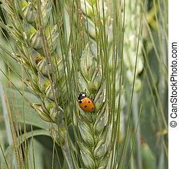 mariquita, en, trigo