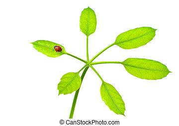 mariquita, en, verde, aislado, hoja